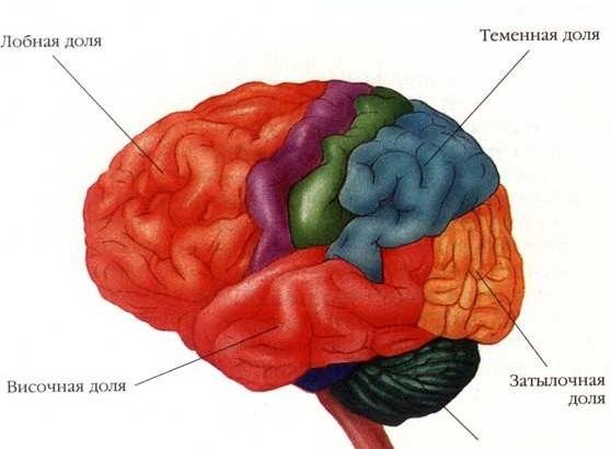 golovnoy-mozg
